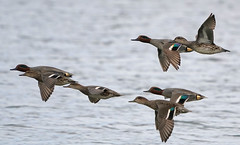 Teal Fly Past