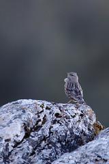 Alpine Accentor   alpjärnsparv   Prunella collaris