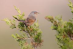 Tristram's Warbler | atlassångare | Sylvia deserticola