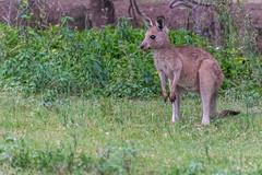 Coombabah kangaroo