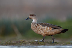 Crested Duck | tofsand | Lophonetta specularioides
