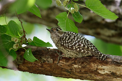 Checkered Woodpecker | schackspett | Veniliornis mixtus