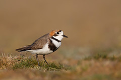 Two-banded Plover | patagonienpipare | Charadrius falklandicus