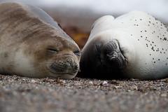 Southern Elephant Seal   sydlig sjöelefant   Mirounga leonina