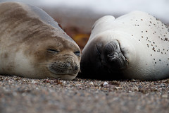 Southern Elephant Seal | sydlig sjöelefant | Mirounga leonina