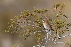 Rufous-collared Sparrow | morgonsparv | Zonotrichia capensis