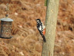 Great spotted wodpecker