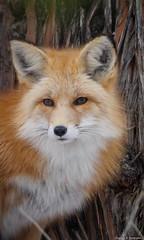 Captive Red Fox
