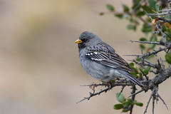Mourning Sierra Finch | sorgsierrafink | Phrygilus fruticeti