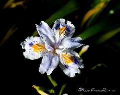 Iris Japonica in great colors