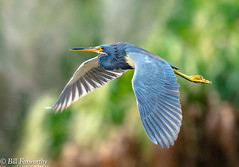 Sony ILCE-A9, Tri Colored Heron, 6742, 1-800, f8, ISO 1250, 560mm _