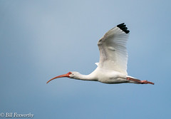 Sony ILCE-A9, White Ibis, 6940, 1-8000, f8, ISO 1250, 560mm _