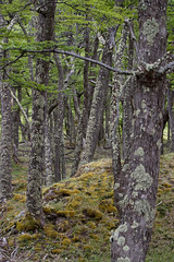 Southern Birch Forest