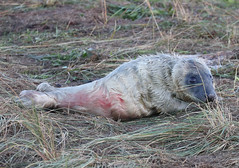 Grey Seal Pup Halichoerus grypus 013-1