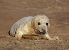 Grey Seal Pup Halichoerus grypus 170-1