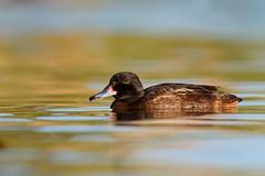 Black-headed Duck | svarthuvad and | Heteronetta atricapilla