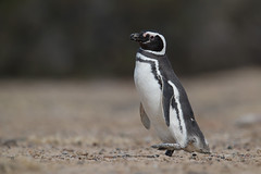 Magellanic Penguin | magellanpingvin | Spheniscus magellanicus