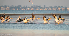 Sony ILCE-A9, White Pelicans, 3614, 1-800, f-9, ISO 3200, 560mm _