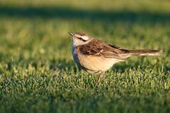 Chalk-browed Mockingbird   camposhärmtrast   Mimus saturninus
