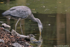 Grey heron (with reflection !)