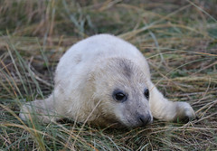 Grey Seal Pup Halichoerus grypus 011-1