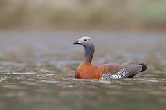 Ashy-headed Goose | gråhuvad gås | Chloephaga poliocephala