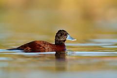Lake Duck | argentinsk kopparand | Oxyura vittata