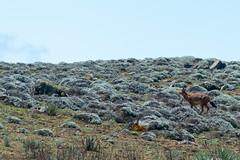 Wolf @ the Sanetti Plateau