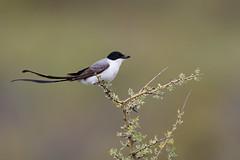 Fork-tailed Flycatcher   gaffelstjärtstyrann   Tyrannus savana