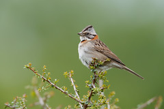 Rufous-collared Sparrow | morgonsparv | Zonotrichia capensis