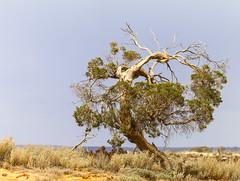 Tree on edge of Lake Tyrrell