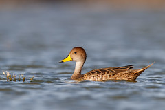 Yellow-billed Pintail | gulnäbbad stjärtand | Anas georgica