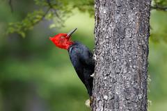 Magellanic Woodpecker | magellanspett | Campephilus magellanicus