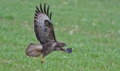 Buzzard (3 of 3). Juvenile Taking off