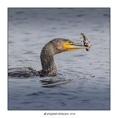 Cormorant strikes