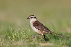 Chalk-browed Mockingbird | camposhärmtrast | Mimus saturninus