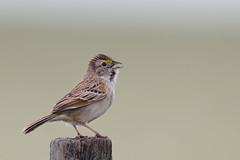 Grassland Sparrow | grässparv | Ammodramus humeralis