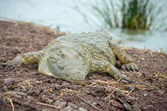 Crocodile Market @ Lake Chamo