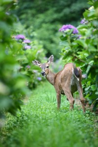 deer in hydrangea ranch