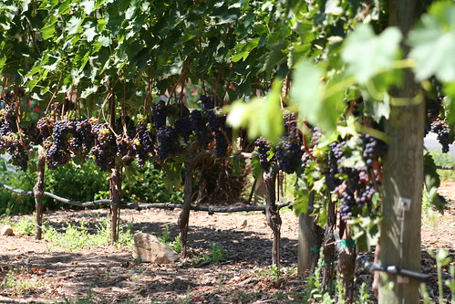 grapes in a vineyard in california