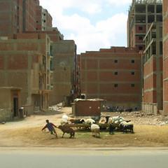 troupeau urbain