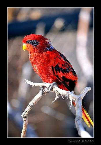 Red Lory (Eos bornea) - 2 by Somnath Mukherjee Photoghaphy