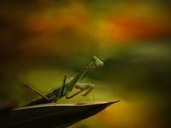 Mantis, by E.K.