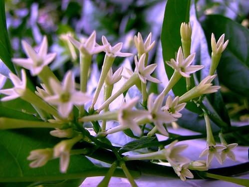 SOLANACEAE 茄科 - Night-blooming Jasmine (Cestrum nocturnum) 夜香樹 / 丁香花