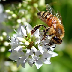 Honey bee (picture by Brenda Starr)