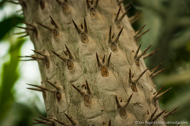 Tree With Triple Spikes on Trunk