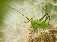 Grasshopper, by Andreas77m