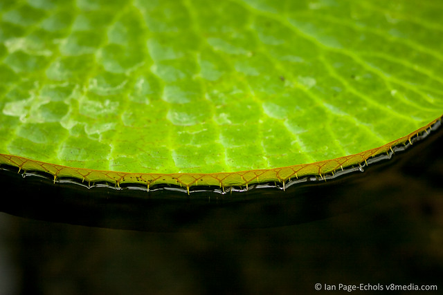 Edge of Lily Pad