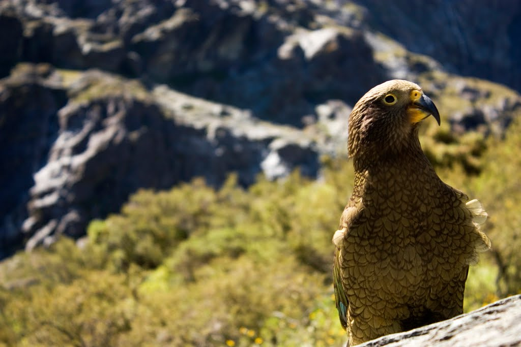Kea at Rob Roys Glacier