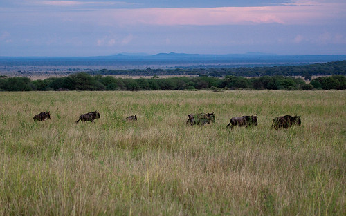 Early morning Serengeti scape.